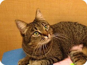 American Bobtail Cat for adoption in Foothill Ranch, California - Bobbi