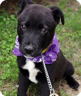 Border Collie/Labrador Retriever Mix Puppy for adoption in Groton, Massachusetts - Peyton