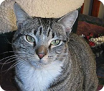 Domestic Shorthair Cat for adoption in Herndon, Virginia - George- INDOOR/OUTDOOR