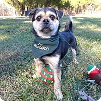 Adopt A Pet :: Scrappy - Mocksville, NC