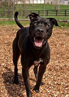 Labrador Retriever/American Staffordshire Terrier Mix Dog for adoption in Shelbyville, Kentucky - Bentley