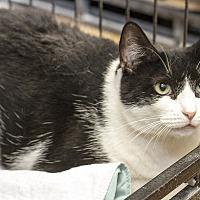 Domestic Shorthair Cat for adoption in Bronx, New York - Oreo