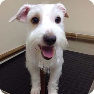 Jack Russell Terrier/Schnauzer (Miniature) Mix Dog for adoption in Redondo Beach, California - Clay