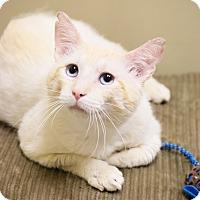 Adopt A Pet :: Dutch - Chicago, IL