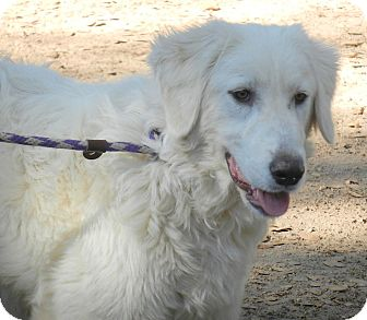 Great Pyrenees Dog for adoption in Granite Bay, California - ALEX