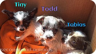 Chihuahua/Terrier (Unknown Type, Small) Mix Puppy for adoption in Rosamond, California - Tiny