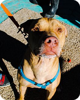 Pit Bull Terrier Mix Dog for adoption in Odessa, Texas - Bullet