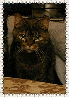 Domestic Shorthair Cat for adoption in Island Heights, New Jersey - Gloria