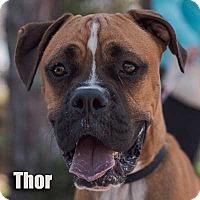 Adopt A Pet :: Thor - Encino, CA