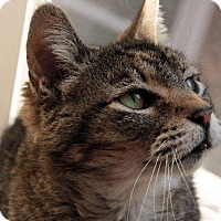 Domestic Shorthair Cat for adoption in Valley Park, Missouri - Ozzie Ozborne