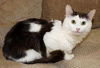 Domestic Shorthair Cat for adoption in Edmond, Oklahoma - Splinter