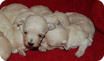 Maltese/Chihuahua Mix Puppy for adoption in Aqua Dulce, California - Baby Boy 2