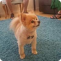 Adopt A Pet :: Zues - Las Vegas, NV