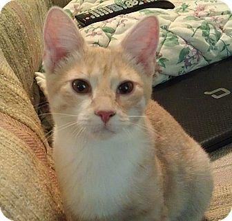 Domestic Shorthair Cat for adoption in Fairbury, Nebraska - Creme