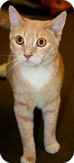 Domestic Shorthair Cat for adoption in Phoenix, Arizona - Sunburst