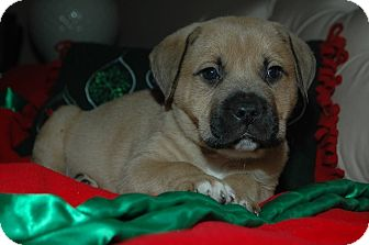Boxer/Mastiff Mix Puppy for adoption in CHAMPAIGN, Illinois - RUFUS
