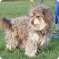Adopt A Pet :: Chocolate - Tumwater, WA