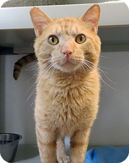 Domestic Shorthair Cat for adoption in Marseilles, Illinois - Johnny