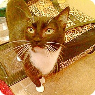 Domestic Shorthair Cat for adoption in Midvale, Utah - Sugar Paws