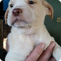 Adopt A Pet :: Popcorn - Gainesville, FL