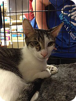 Domestic Shorthair Cat for adoption in Tampa, Florida - Hank Heartbreaker