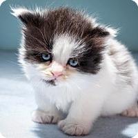 Adopt A Pet :: At Litter - Athena - Williamston, MI