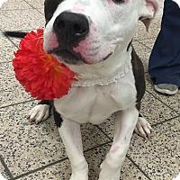 Adopt A Pet :: Bubbles - Avon, OH
