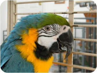 Macaw for adoption in Punta Gorda, Florida - Ollie