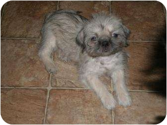 Shih Tzu/Fox Terrier (Toy) Mix Puppy for adoption in New Boston, New Hampshire - Friday
