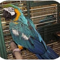 Macaw for adoption in Edgerton, Wisconsin - Artie