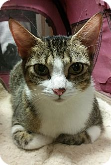 Domestic Shorthair Cat for adoption in Schertz, Texas - Pajama JMc