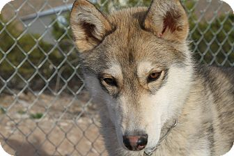 Siberian Husky Dog for adoption in Alamogordo, New Mexico - Frodo