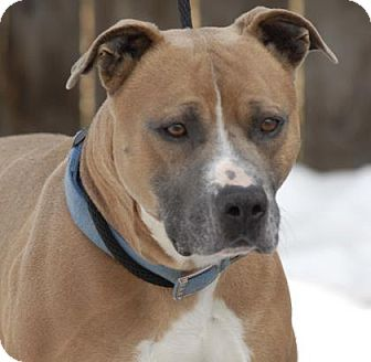Pit Bull Terrier Mix Dog for adoption in Evans, Colorado - Aiden
