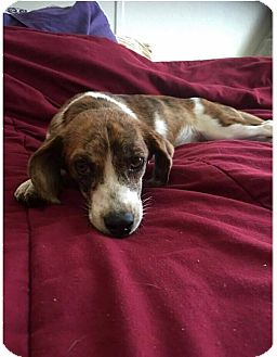 Beagle Mix Puppy for adoption in Cleveland, Oklahoma - Sweet Pea