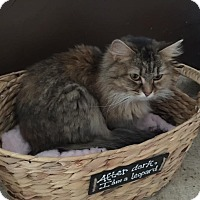 Domestic Longhair Cat for adoption in Algonquin, Illinois - Annabelle