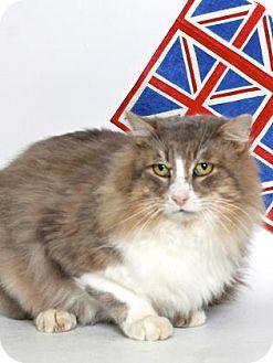 Domestic Longhair Cat for adoption in Gloucester, Virginia - BALTHAZAR