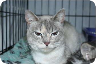 Siamese Cat for adoption in Santa Rosa, California - Evita