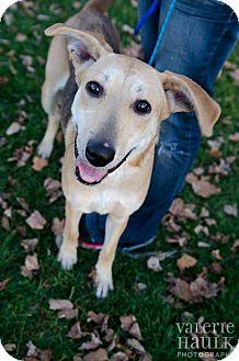 Shepherd (Unknown Type)/Greyhound Mix Dog for adoption in Lancaster, Ohio - Annabelle