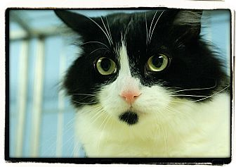 Domestic Longhair Cat for adoption in Elmwood Park, New Jersey - Gepetto