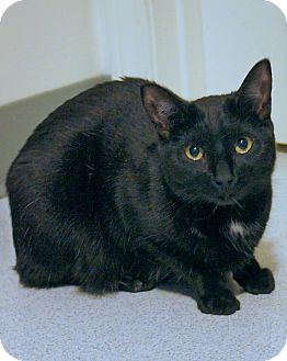 American Shorthair Cat for adoption in Victor, New York - Bella