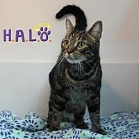 Domestic Shorthair Cat for adoption in Sebastian, Florida - Venus