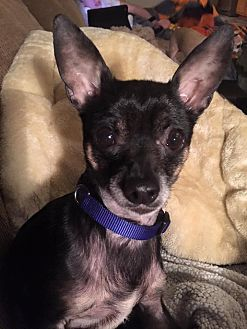 Chihuahua Mix Dog for adoption in Flossmoor, Illinois - Friego