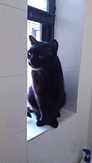 Domestic Shorthair Cat for adoption in Harrison, New York - Rambo
