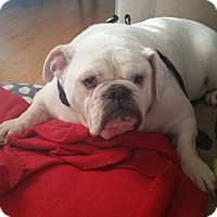 Adopt A Pet :: Molly - Park Ridge, IL
