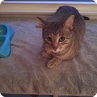 Domestic Shorthair Cat for adoption in Avon, New York - Tom