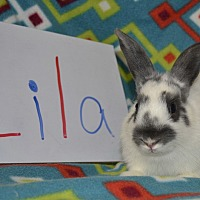 Adopt A Pet :: Lila - Erie, PA
