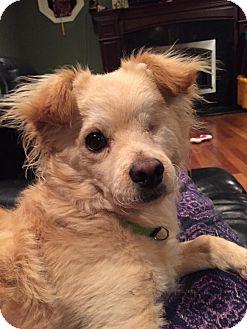 Pomeranian/Chihuahua Mix Dog for adoption in Palatine, Illinois - Bingo