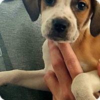 Adopt A Pet :: Graham - Morganville, NJ