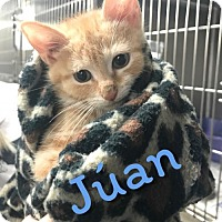Adopt A Pet :: Kittens: Júan and Jèsus - Akron, OH