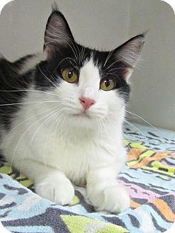 Domestic Mediumhair Cat for adoption in Seminole, Florida - Amber